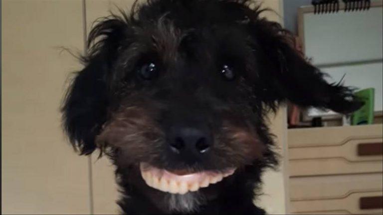Dog steals denture. A denture wearer dog.